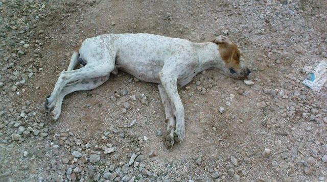 Ρόδος: Ηλικιωμένος δηλητηρίαζε σκύλους επί δύο ολόκληρα χρόνια!