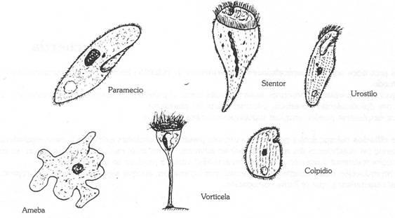 un animal protozoo