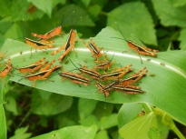 Yellow spined bamboo locusts