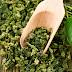 Πράσινο τσάι: Από ποιους 2 τύπους καρκίνου προστατεύει