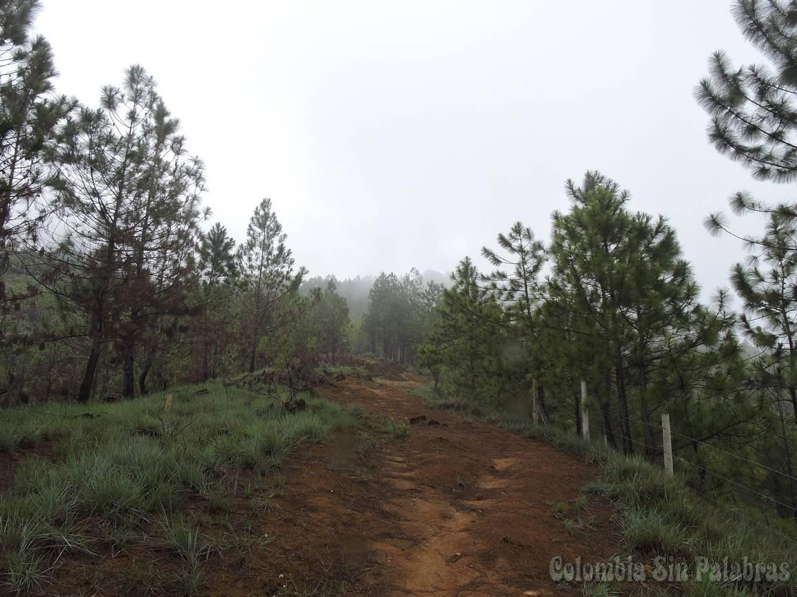 caminos verdes y de tierra rodeados de pinos