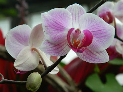 Phalaenopsis Moth Orchid hybrid at the Allan Gardens Conservatory by garden muses-not another Toronto gardening blog