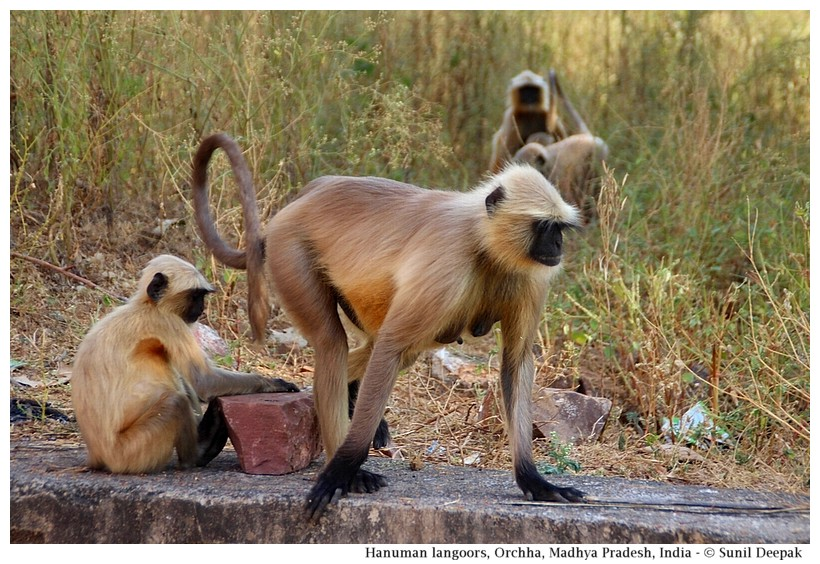 Hanuman langoor monkeys, Orchha, Madhya Pradesh, India - Images by Sunil Deepak
