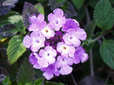 hình ảnh đẹp hoa ngũ sắc, hoa bông ổi