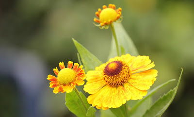 Sneezeweed Photo by Karin