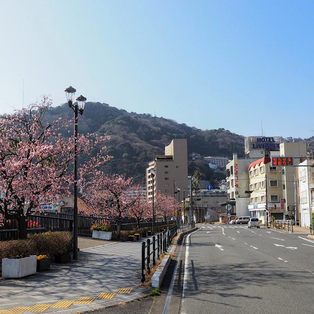 熱海 海岸  あたみ桜