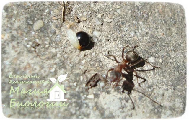 мирмекохория-мирмекофилия-муравьи-семена-элайосома