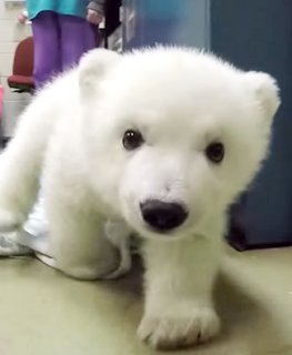 Nora the  Polar Bear Cub.