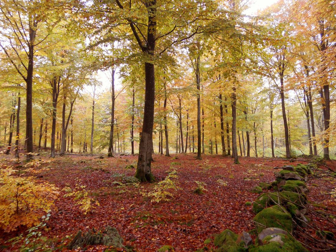 Bosco di faggio in autunno