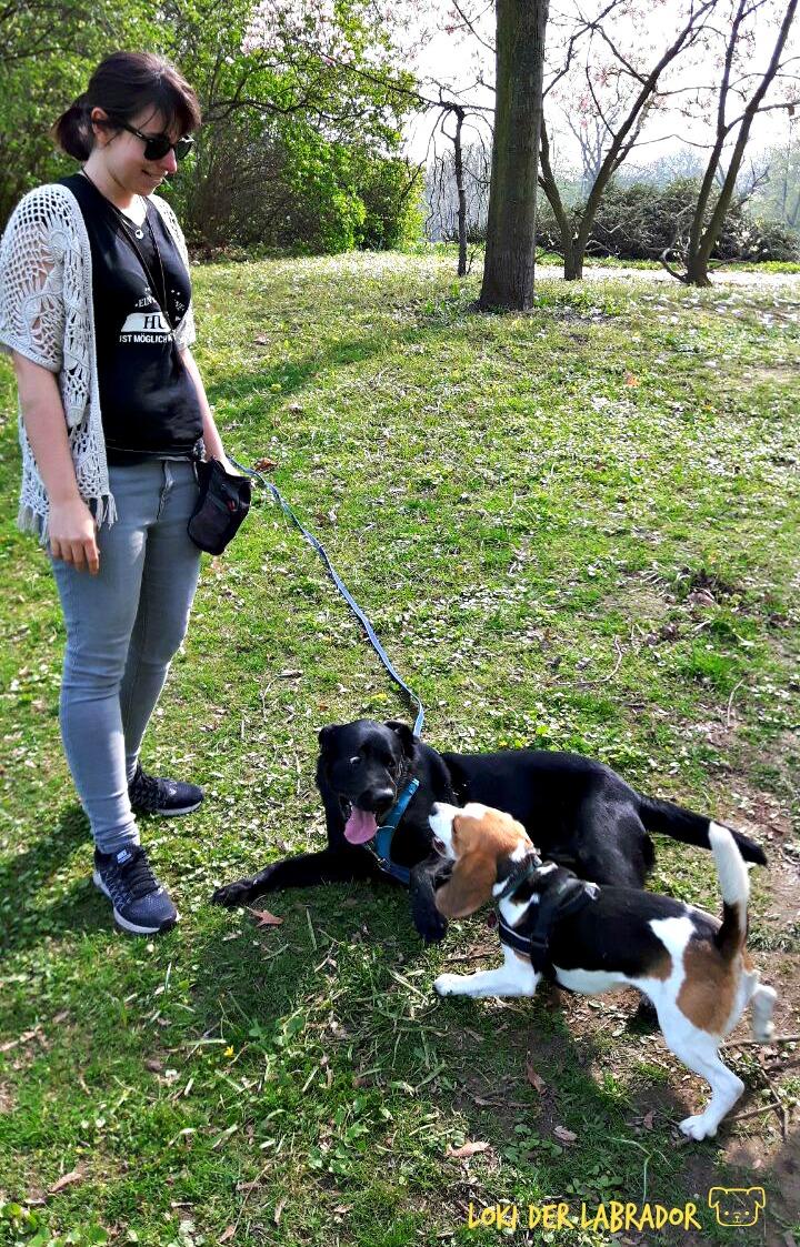 Aufgeregter Labrador und Beagle auf Wiese