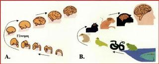 Οντογενετική ανάπτυξη και Β. Φυλογενετική εξέλιξη του ανθρώπινου εγκεφάλου.