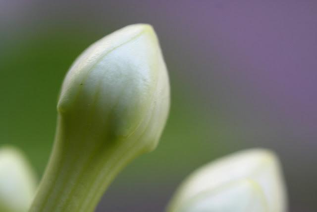 Stephanotis floribunda (Madagascar jasmine) bud closeup