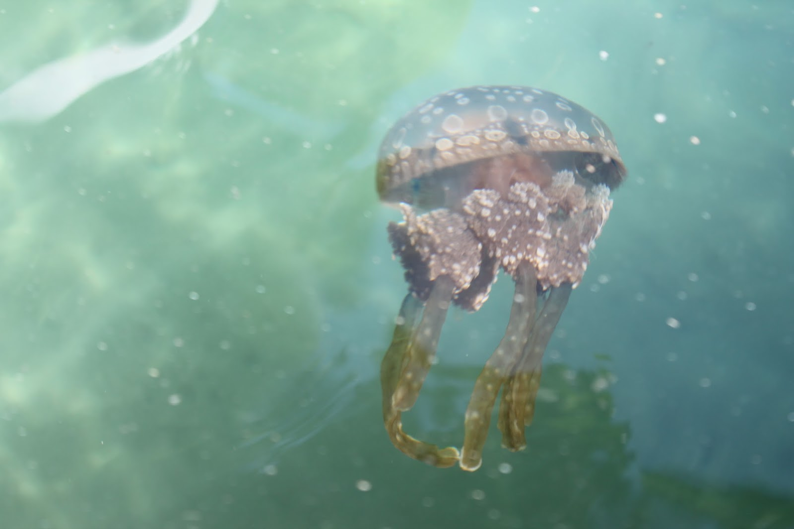 Sohoton Cove and Non-sting Jellyfish at Bucas Grande Island