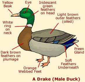 duck dog adaption diagram toyskids co \u2022