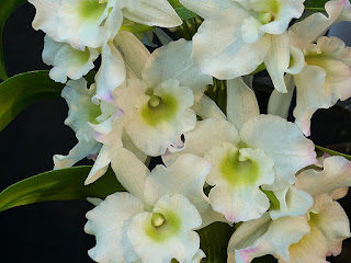 Dendrobium Apollo
