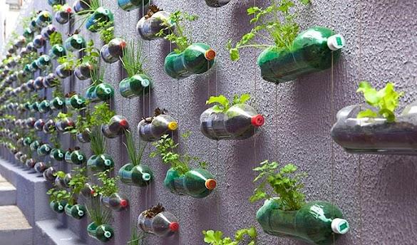 Cara Menanam Sawi Hidroponik Mudah dengan Botol Bekas