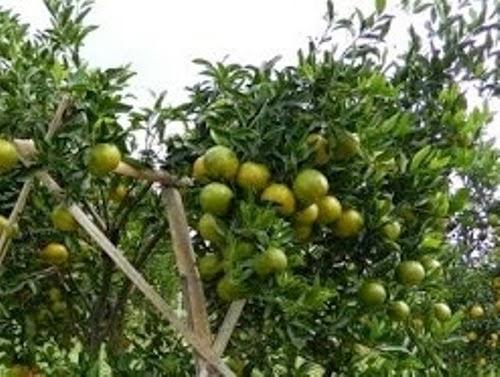 jeruk keprok jeruk lokal manis mantap