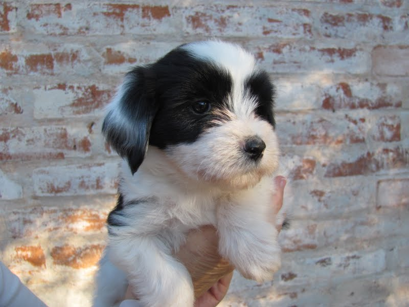 tibetan terrier puppies available mr puppy pictures 2303