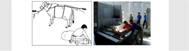 proses perobohan ternak dengan benar di rph