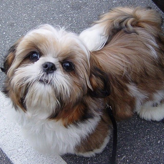 Is A Shih Tzu Dog The Right Breed For