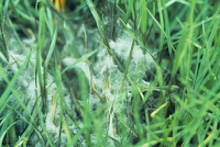 Prevention of Pythium Blight