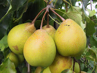 Yali Pear Fruit Pictures