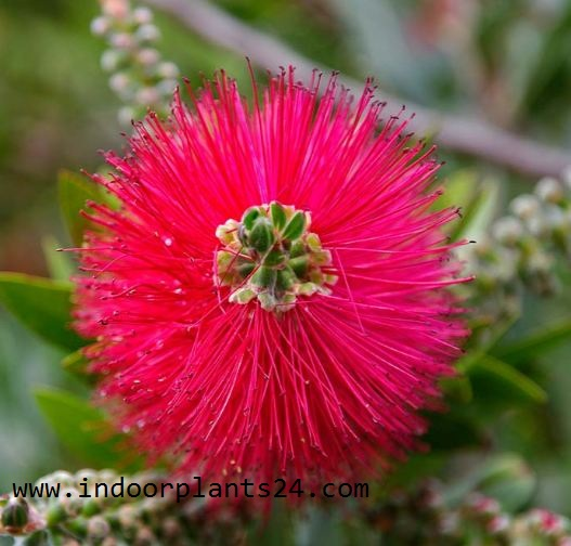 Callistemon Citrinus indoor house plant