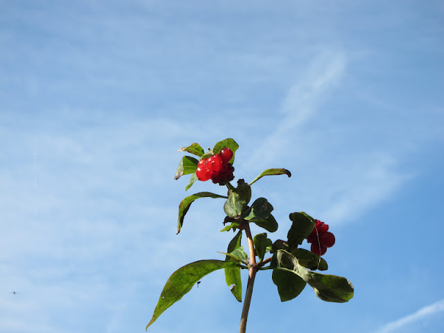 Honeysuckle Berries Against a Blue Sky