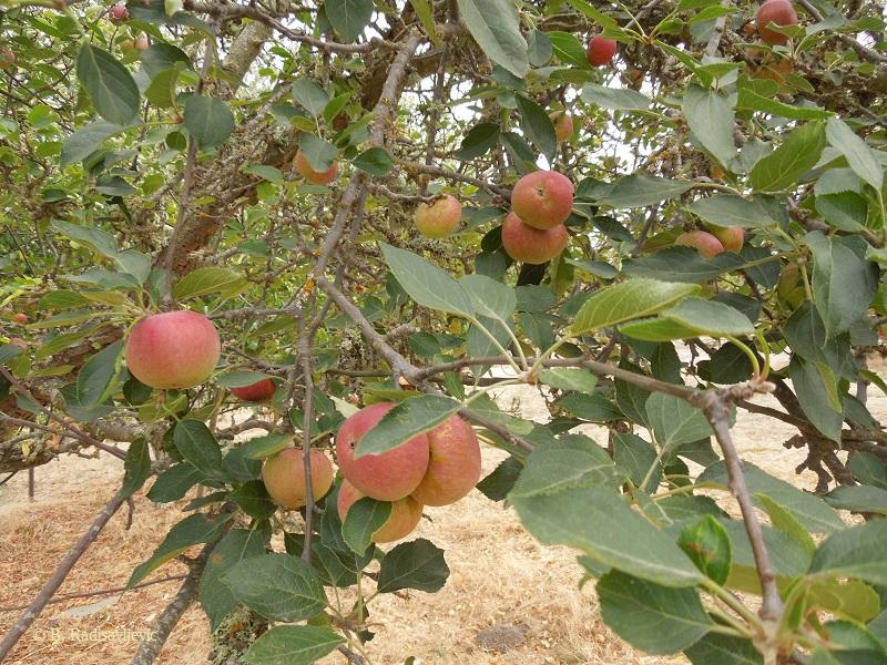 Apples on the Tree Ready to Pick, © B. Radisavljevic