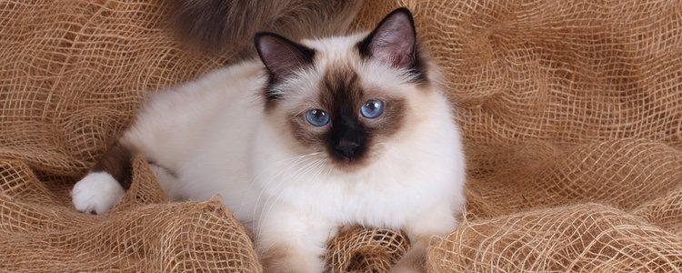 BURMESE CAT - Best Cat Breeds