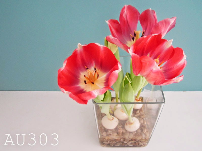 Faire fleurir des bulbes de tulipes en vase au 303 home deco for Bulbe amaryllis