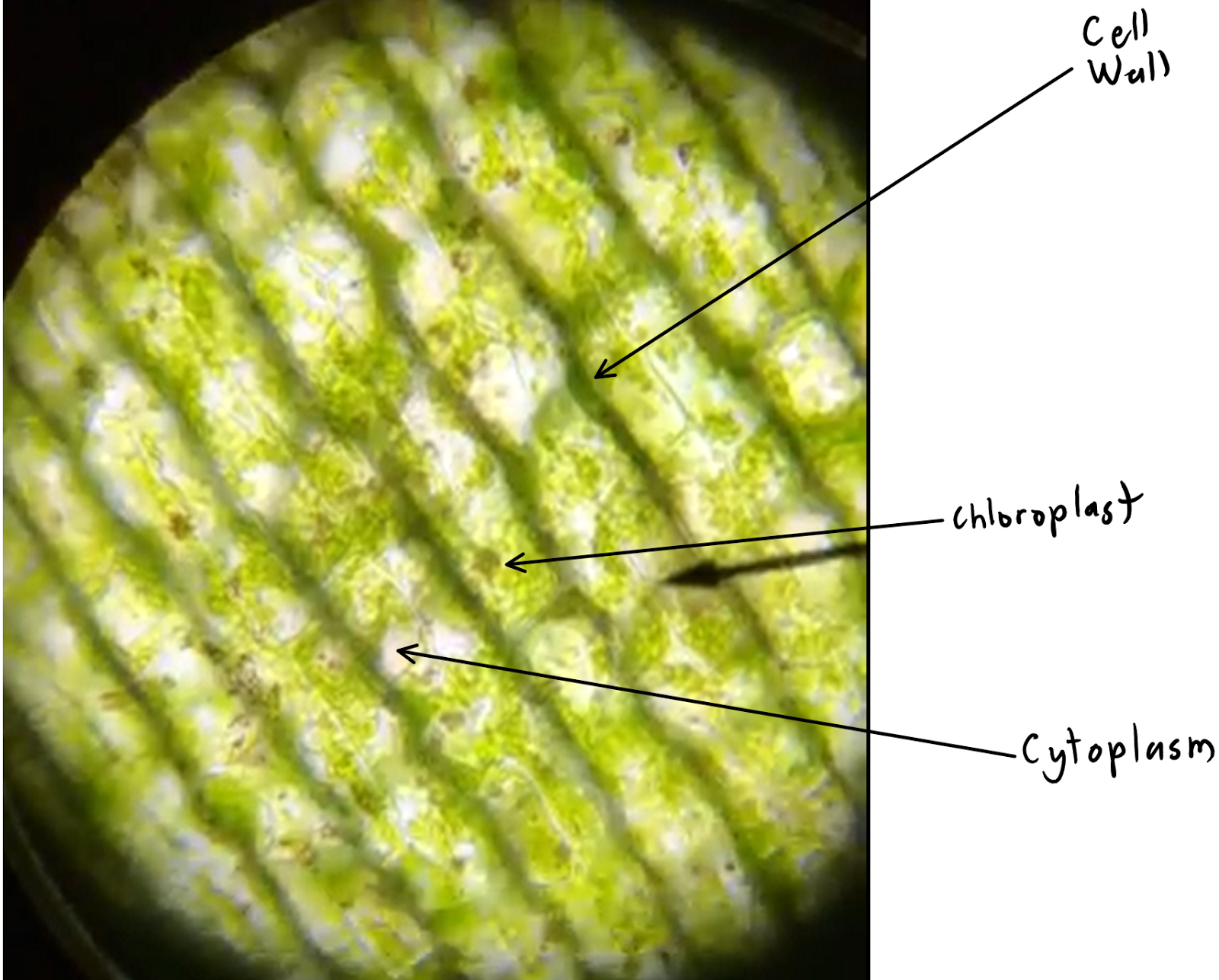 Elodea under microscope 40x