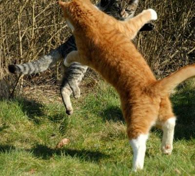 Foto kucing berantem yang keren 09