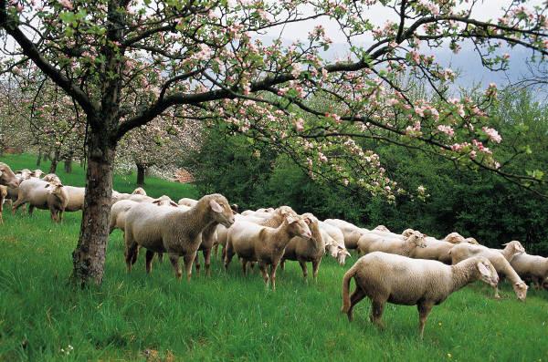 Θαν. Πετράκος: Όχι στην καταστροφή της αιγοπροβατροφείας