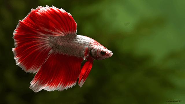 Cara Budidaya Ikan Cupang Terlengkap dan Terbaru