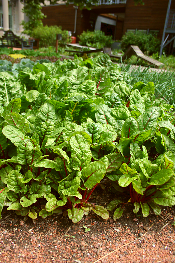 Fall Vegetable Garden Swiss chard