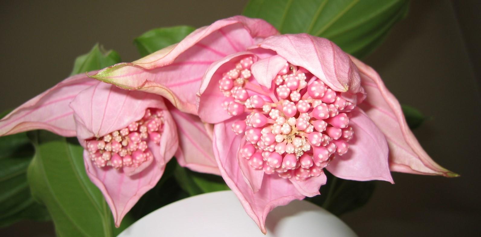 10 plantas de interior con flor amigos de la jardiner a - Plantas bonitas de interior ...
