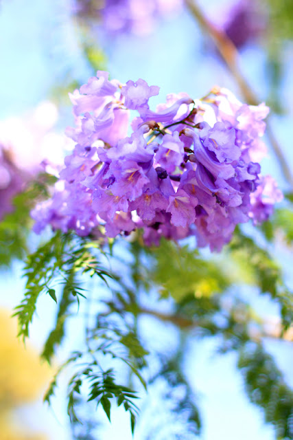 Purple Jacaranda Tree in Bloom in Santa Monica, CA - Flower Photography by Mademoiselle Mermaid