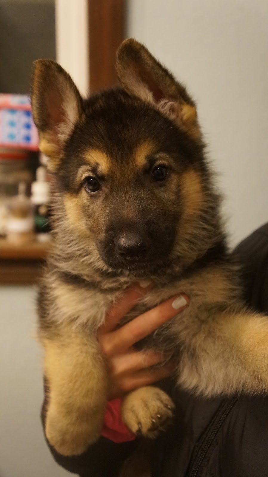 German Shepherd Puppy Puppies Pups Pup Or Oregon North Central