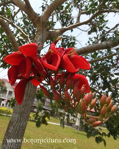 Erythrina fusca, Chekring, Coral Bean, Purple Coral-tree flower
