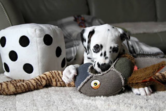 Very young Dalmatian puppy playing with dog toys