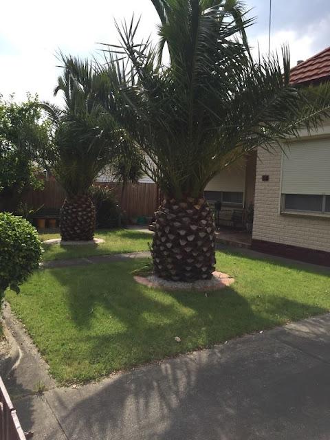 Esta árvore parece com um abacaxi gigante