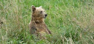 Asturias. Uno de los osos de la Senda del Oso.