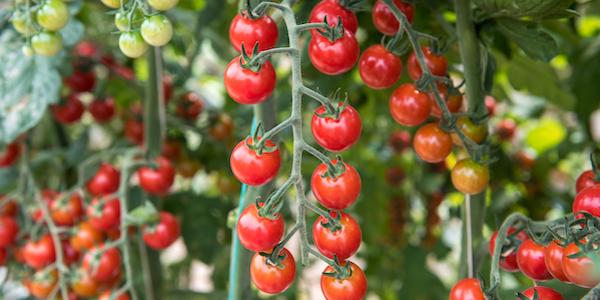 Agricoltura: la Camera approva le misura di sostegno al pomodoro italiano