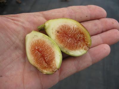bibit buah tin karawang