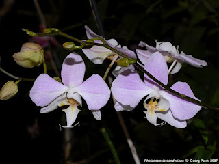 Phalaenopsis sanderiana care and culture