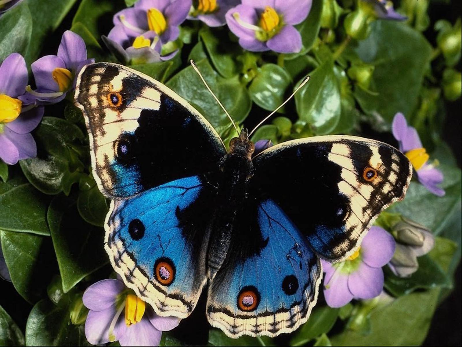 Butterfly Gallery: Beautiful Butterfly Pictures