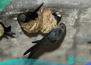 Chim yến xây tổ trong nhà yến.