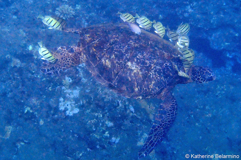 Na Pali Coast Snorkeling Turtle Napali Catamaran Kauai Hawaii