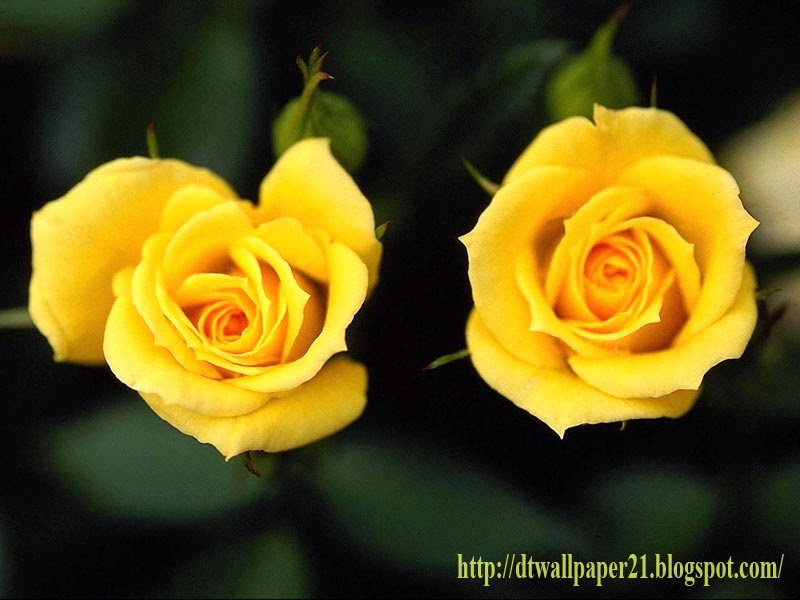Funny Wallpaper Quotes About Single Desktop Wallpaper Background Screensavers Yellow Roses
